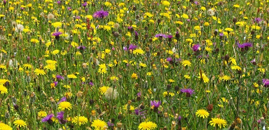 Daisy species and Purple Knapweeds large